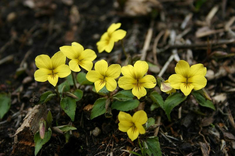 キスミレ(黄菫) 低い山で見られる。久住、阿蘇方面では群生地もあるが、...  キスミレ(黄菫)